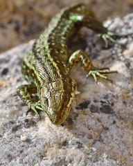 recovering in the sun (polandeze) Tags: wild macro green reptile lizard scaly lacertavivipara commonlizard d90 nikond90