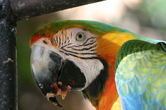 "02 09_ CR_ Zoo Ave_ Macaw head 2 • <a style=""font-size:0.8em;"" href=""http://www.flickr.com/photos/30765416@N06/4520237777/"" target=""_blank"">View on Flickr</a>"