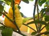il primo limone dell'anno