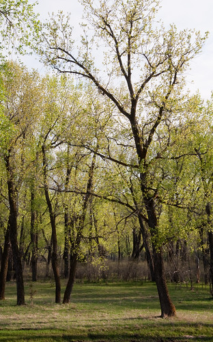 Cottonwoods in Spring
