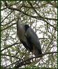 Yeah, And What Do You Want ! (Church Mouse 07) Tags: uk trees bird nature lumix spring wildlife panasonic april british heronisland 2010 atthepark greyheron wildbird dmcfz28 churchmouse07