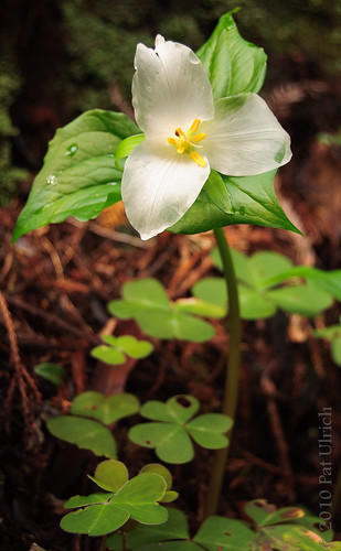 Trillium with Sorrel