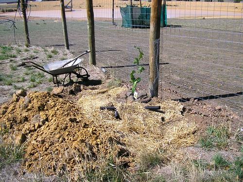 passionfruit planting - 5