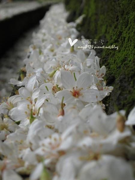 油桐花7-2010.04.18