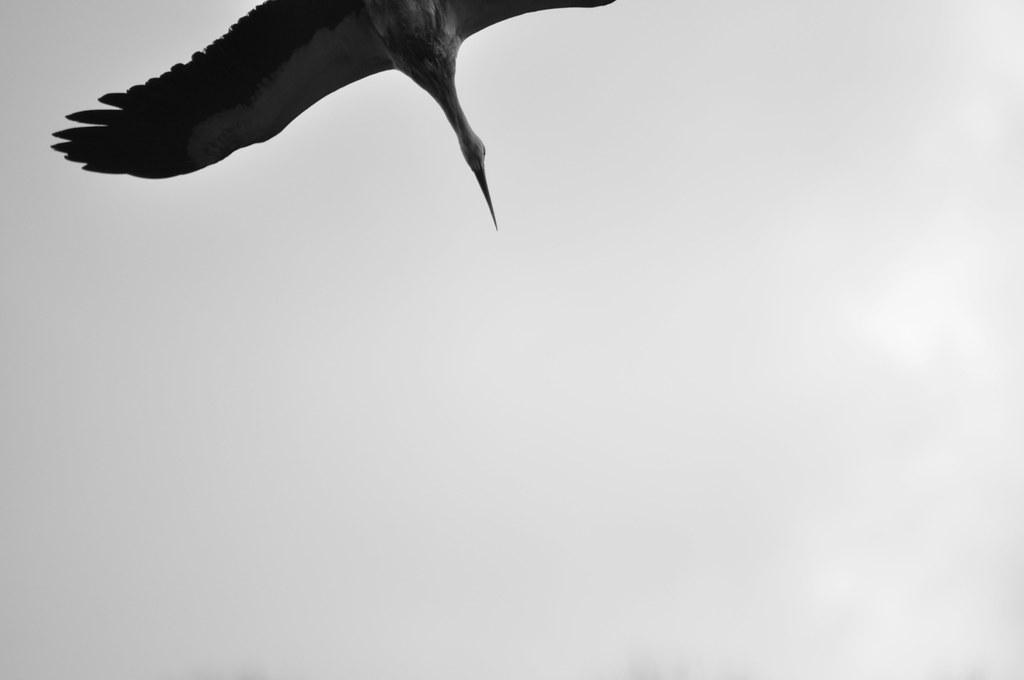 cigüeña voladora