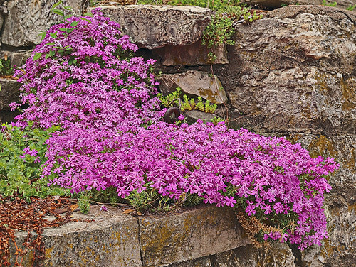 Pink flowers on stone wall in Washington, Missouri, USA