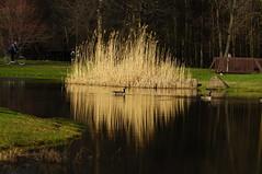 Mirror reflections (ThomasD300) Tags: pond nikon quebec parks canadiangeese parc longueuil 70200mm d300 basedepleinair thomasd300
