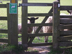 peering sheep