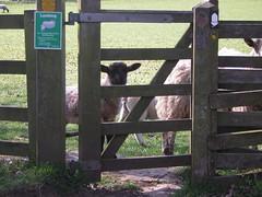 peering sheep