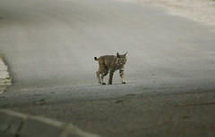 Bobcat on Road