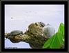 Testoase de Florida (testoase cu tample rosii) in Lacul Herastrau / Red-eared sliders in Herastrau Lake, Bucharest, Romania (cod_gabriel) Tags: park lake turtle lac turtles trachemys tortuga parc bucharest tartaruga tortue bucuresti tortugas bukarest カメ redearedslider boekarest roodwangschildpad bucarest tartarughe schildkröten tartarugas 거북 ブカレスト trachemysscriptaelegans redearedterrapin bucureşti 龟 龜 巴西龜 herăstrăupark herăstrău tortuedefloride rotwangenschmuckschildkröte testoasa سلحفاة parculherastrau żółwie bucareste черепахи бухарест bükreş เต่า tortueàtempesrouges tortugadeorejasrojas broascatestoasa testoase tartarugadalleorecchierosse laculherastrau laculherăstrău parculherăstrău बुखारेस्ट بوخارست galápagodeflorida ţestoasă красноухаячерепаха 布加勒斯特 gigoteaelegante 미시시피붉은귀거북 żółwczerwonolicy เต่าแก้มแดง 红耳龟 บูคาเรสต์ testoasadeflorida broascăţestoasă ţestoasădeflorida dierotwangenschmuckschildkröte ţestoase broaşteţestoase broastetestoase ţestoasecutâmpleroşii testoasecutamplerosii ţestoasăcutâmpleroşii testoasacutamplerosii