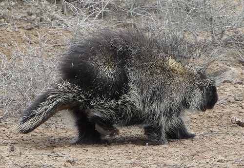 """porcupine • <a style=""""font-size:0.8em;"""" href=""""http://www.flickr.com/photos/10528393@N00/4548937445/"""" target=""""_blank"""">View on Flickr</a>"""