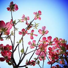 GRD ver. (shotam) Tags: pink blue square spring snap 365 grdigital ricoh asuka  grd   asukavillage asukamura  grd2 benthamidiaflorida 333652010  yourfav2010 yourfav201009