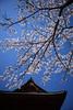 関東北部の桜前線