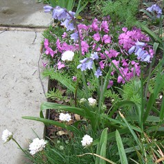Phlox, Bluebells and white armeria