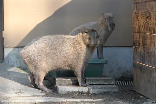 カピバラ Capybara 井の頭自然文化園