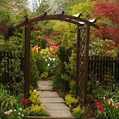 Our Genoa arch (spring) (Four Seasons Garden) Tags: wood uk pink flowers red england urban plants white west flower colour green english beautiful leaves yellow marie gardens garden four wooden spring maple all arch colours open seasons tulips picture peaceful tony genoa national fourseasons acer scheme urbangarden staffordshire newton conifers walsall englishgarden midlands conifer ilex pieris blackcountry ngs nationalgardenscheme acers fourseasonsgarden wonderfulworldofflowers