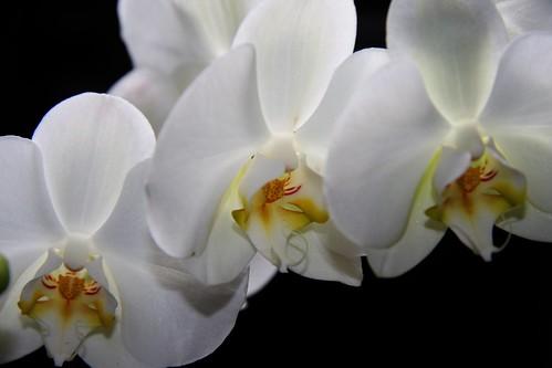 orquídea blanca 5
