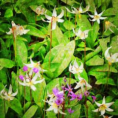 I cannot meet the Spring unmoved (Nick Kenrick.) Tags: flowers summer flores macro petals spring flora erotic romance sensual petal bouquet scent erotique platinumphoto zedzap magicunicornverybest