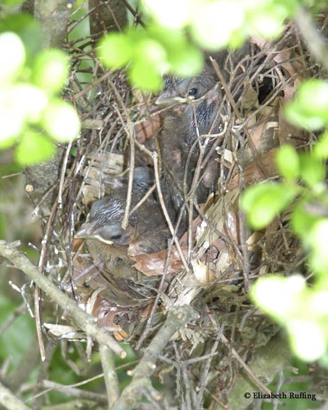 Baby Cardinals in their nest