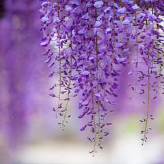 藤の花 (TheJbot) Tags: flowers japan purple bokeh wisteria 85mm18 藤の花