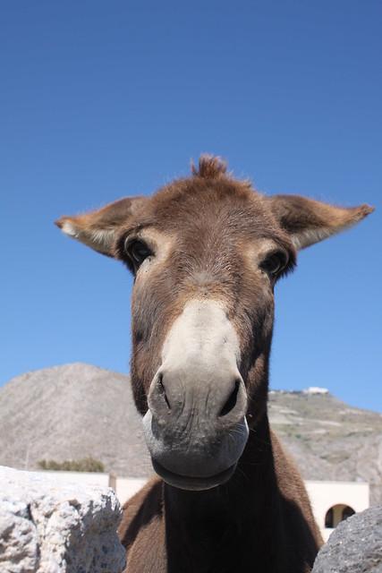 Santorini's donkey