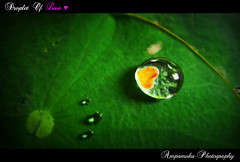 Droplet Of Love (Orange Heart On Water Drop) /  () (AmpamukA) Tags: orange macro cute green art love water leaves leaf heart lotus sweet drop droplet            ampamuka
