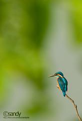 Jewelscape (Sandeep Somasekharan) Tags: bird nikon sandy birding kingfisher perch minimalism nikkor common eurasian alcedoatthis 300mmf4 smallblue d300s sandeepsomasekharan sandyclix