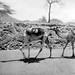 A rare camel