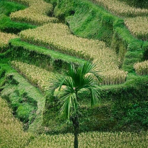 Orezul este hraneste doua treimi din populatia globului
