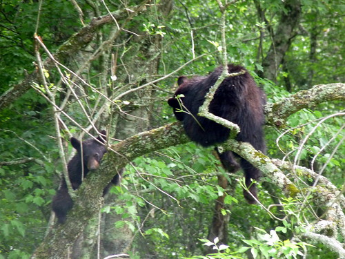 Mama bear and Baby Bear in a Tree