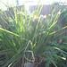 allium schoenoprasum / bieslook