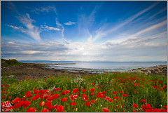Poppies on the sea (Alessandro Laporta Photographer) Tags: grado fvg papaveri gorizia friuliveneziagiulia golfoditrieste mareadriatico fossalon vallecavanata alessandrolaporta fotocesco poppiesonthesea