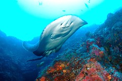 Marble Ray (tastes like doggerel) Tags: fish costarica ray underwater stingray d70s scuba diving cocos cocosisland underwaterphotography ikelite marbleray underseahunter marbledray islacoco wetdoggerel wwwwetdoggerelcom
