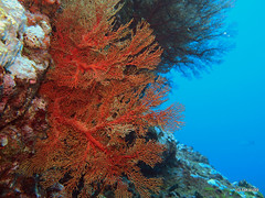 Sea Fan, Richelieu Rock Thailand