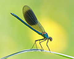 Banded Demoiselle (Andrew Haynes Wildlife Images ( away for a while )) Tags: macro nature river insect wildlife meadows coventry damselfly warwickshire canon7d ajh2008 steetleymeadows