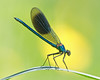 Banded Demoiselle (Andrew Haynes Wildlife Images) Tags: macro nature river insect wildlife meadows coventry damselfly warwickshire canon7d ajh2008 steetleymeadows