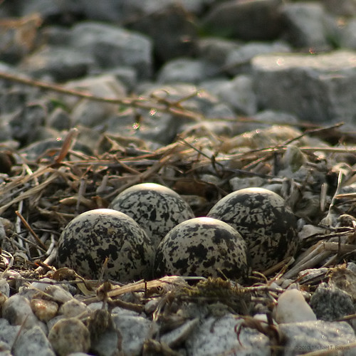 Four Baby Killdeer