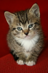 T.W.'s Kitten II (Ruamh) Tags: cats pets cute animals cat kitten kittens kissablekat bestofcats ruamh boc0610