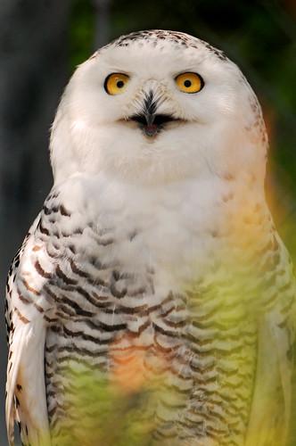 フリー写真素材, 動物, 鳥類, フクロウ科, フクロウ, シロフクロウ,