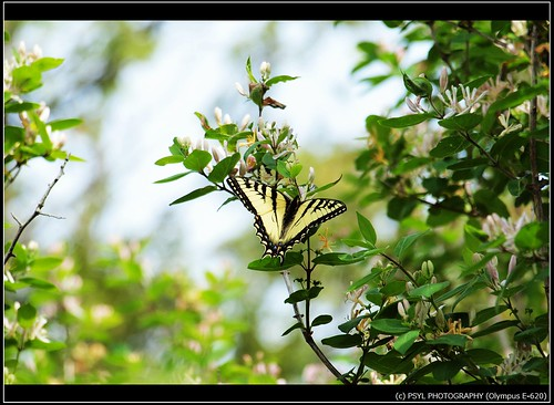 Eastern Tiger Swallowtail (Papilio glaucus) 5