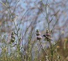 100516_112125 (cmrowell) Tags: california hummingbird sage wildflowers wildwood venturacounty thousandoaks wildwoodpark conejovalley blackchinnedhummingbird wildwoodregionalpark
