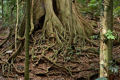 Buttress Root system (ross_coupland) Tags: tree rainforest fig system root buttress