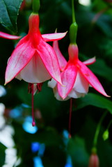 Hanging bells (Lotus Works) Tags: flowers red macro bells washingtondc smithsonian dof bokeh sony botanicalgarden symbolism quantaray 2890mm criticismwelcome bokehlicious minoltaamount bokehrama