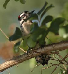 Male Downy looking for son (fazer53) Tags: bird nature woodpecker downywoodpecker nikon d70 wildlife northcarolina carolina d70nikon randolphcounty 75300mmnikon