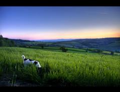 Rabbits! (rmrayner) Tags: sunset england sky dog field grass rural landscape evening countryside spring view dusk terrier devon blended rabbits dartmoor canoneos hdr jackrussellterrier jackrussel westcountry ashcombe rmrayner ralphrayner