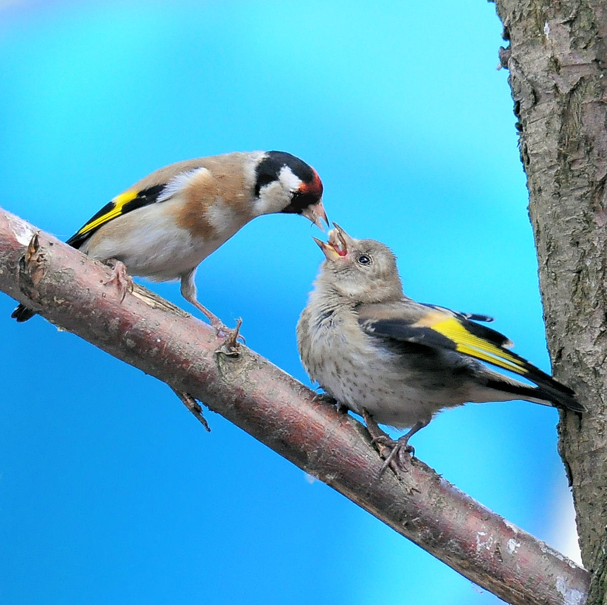 Goldfinch and chick.