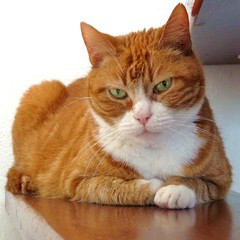 Maartje (Cajaflez) Tags: orange pet cute cat ginger kat chat katze rood gatto huisdier gatti poes cc300 cc200 cc100 kissablekat bestofcats natureselegantshots catmoments catnipaddicts saariysqualitypictures 1001nightsmagiccity vg~catsgallery