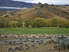 Rain after drought (Ian@NZFlickr) Tags: rain bravo drought nz dunedin heavy aotearoa nomore fourdays flickrsbest anawesomeshot halfourannualrainfall