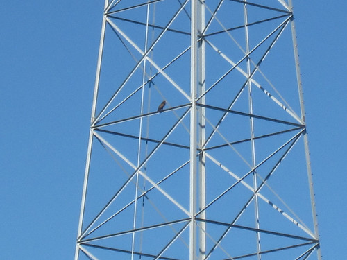 Red tailed hawk on a pylon